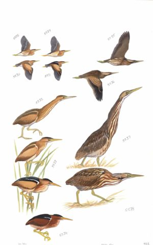 Least Bittern And American