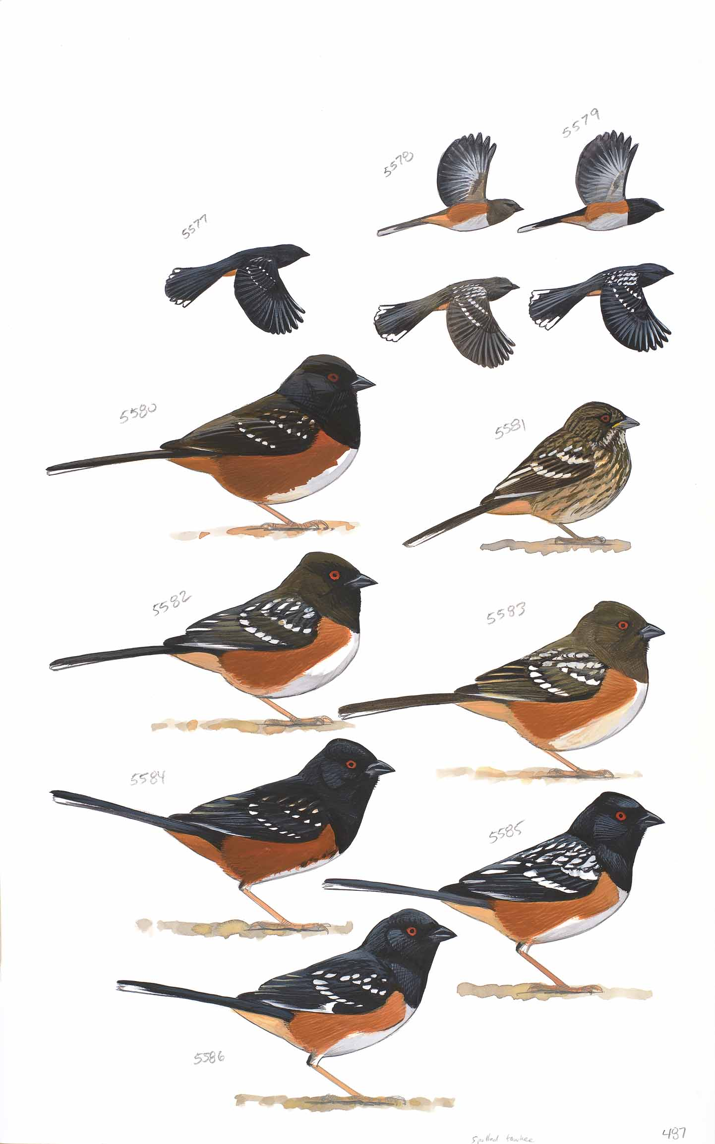 spotted towhee sibley guide original art sibley guides