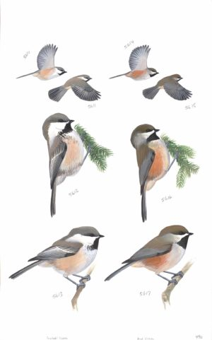 Gray Headed Chickadee And Boreal