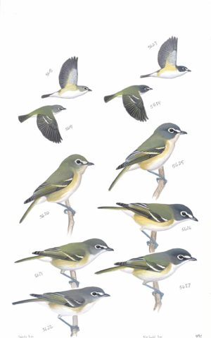 The Sibley Birds Coloring Field Journal 1995 Cassins Vireo And Blue Headed