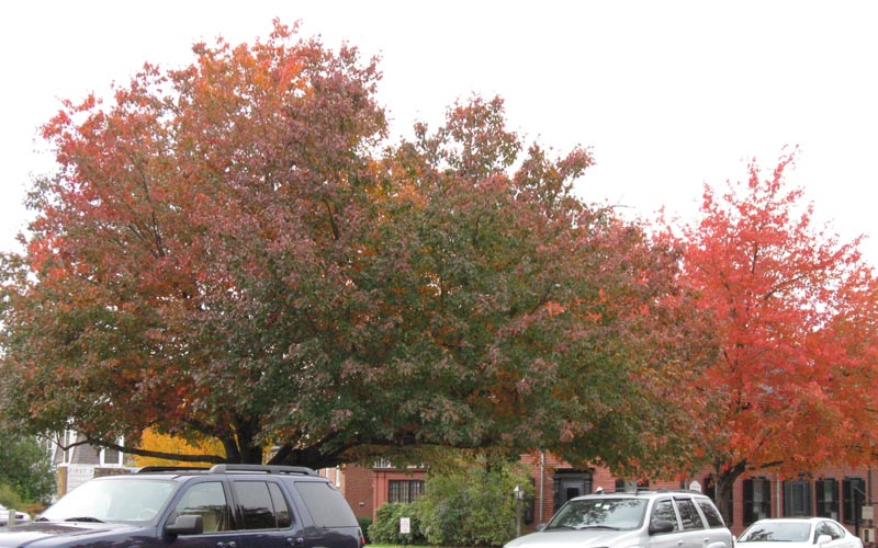 Cultivated Red Maples in Concord, MA, 23 October 2009. Photo copyright David Sibley.