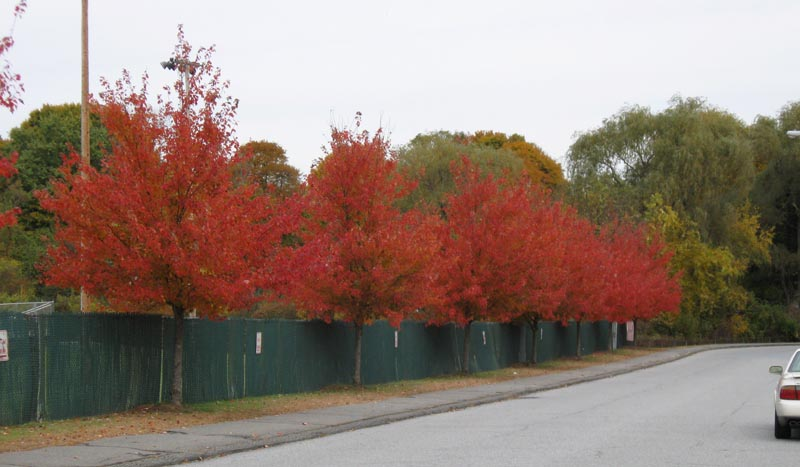 A line of planted Red Maple cultivars in Concord, MA, 9 November 2009. Photo copyright David Sibley. 