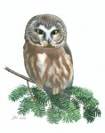 Saw-whet Owl print to benefit research