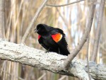 The Red-winged Blackbird from the front, the way this display is intended to be viewed, the intense red of the shoulders is set off against a very deep black shadows of the body and underwing.