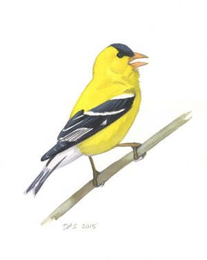the annual plumage cycle of a male american goldfinch sibley guides