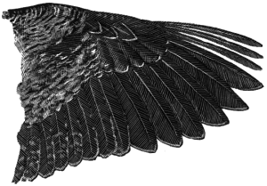 American_Woodcock_wing