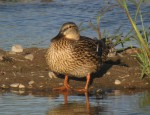 Intergradation between Mexican Duck and Mallard in Arizona