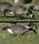 Ageing Canada Geese