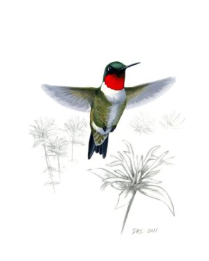 Ruby-throated Hummingbird print