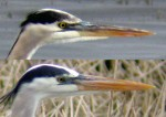 Subspecies by phenology – Great Blue Heron