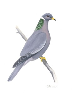 Band-tailed Pigeon_20160401_web