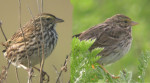 Identification of Belding's Savannah Sparrow