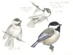Black-capped Chickadee_sketch_20150703_web