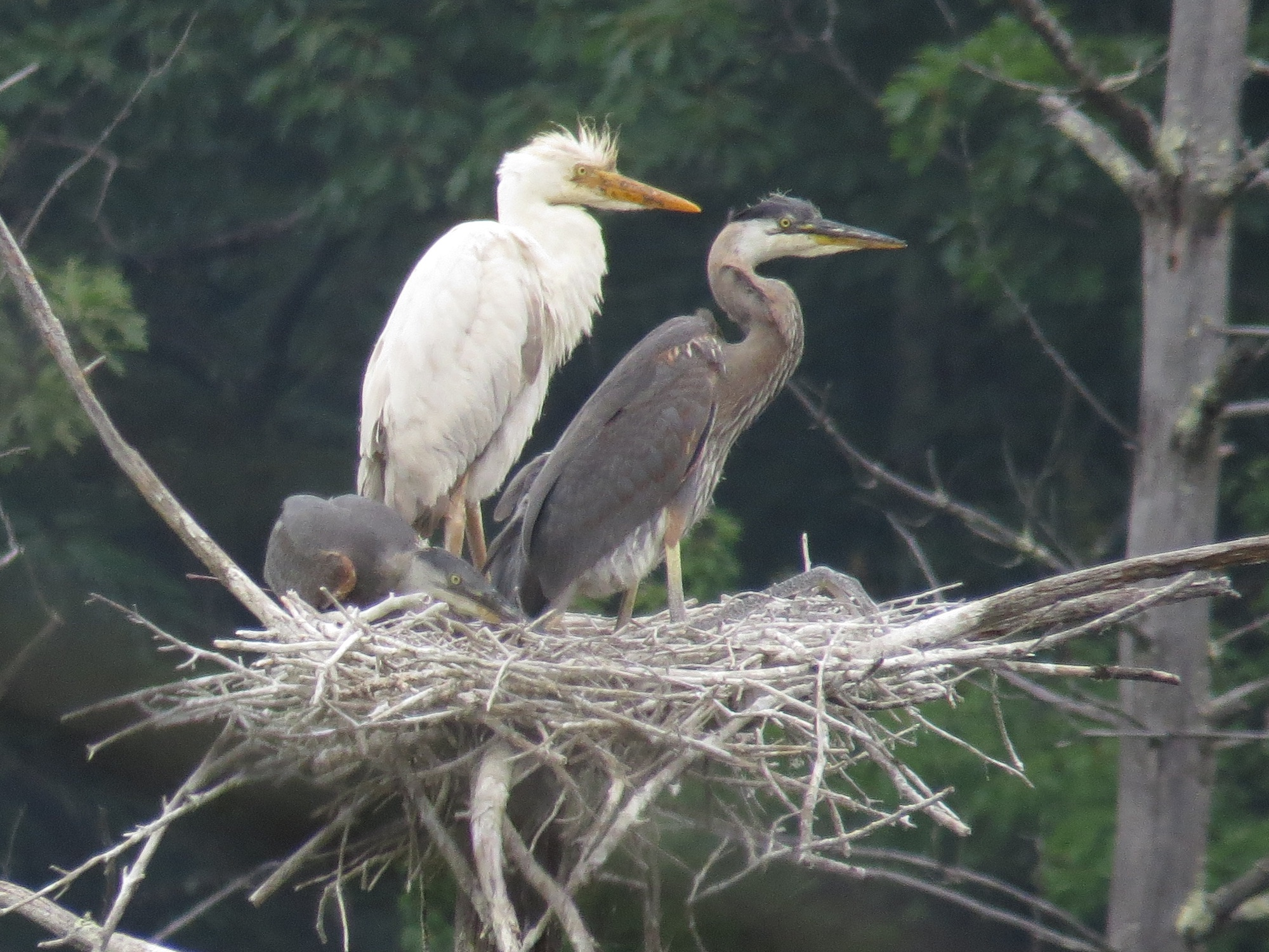 a white great blue heron in massachusetts sibley guides