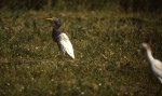 Dark Cattle Egret, Cape May, NJ, 18 May 1987. Photo copyright David Sibley.