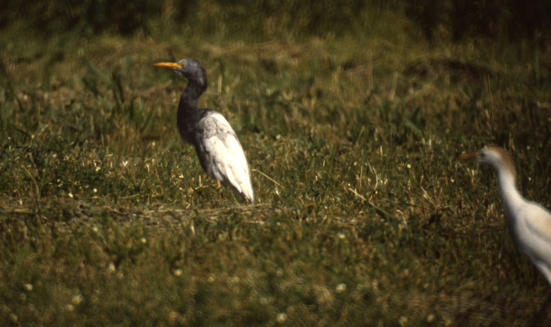 Does Cattle Egret Have A Dark Morph