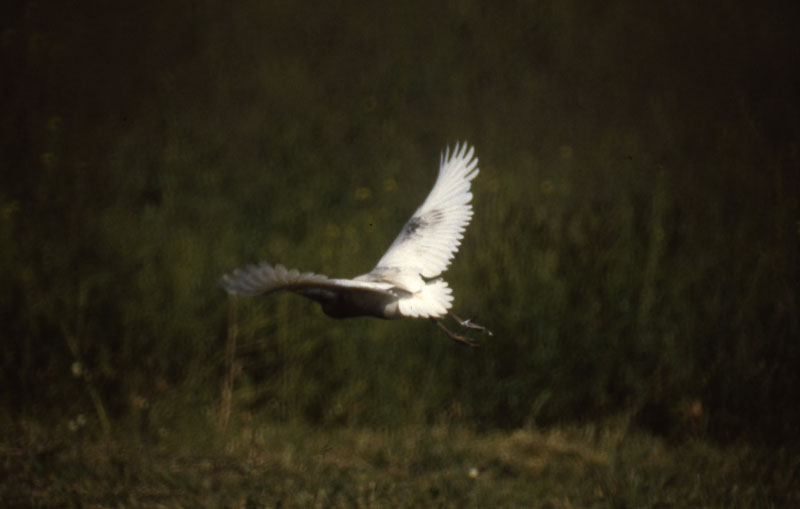 Bubulcus_ibis_dark_CapeMayNJ_18May1987_002_web