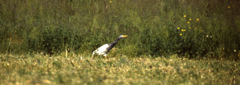 Bubulcus_ibis_dark_CapeMayNJ_18May1987_004_web