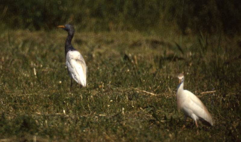 Bubulcus_ibis_dark_CapeMayNJ_18May1987_006_web
