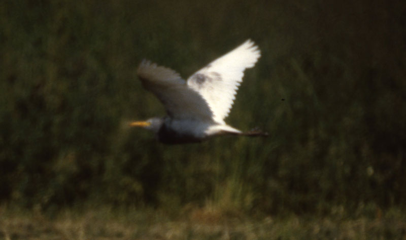 Bubulcus_ibis_dark_CapeMayNJ_18May1987_007_web
