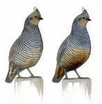 Subspecies of Scaled Quail