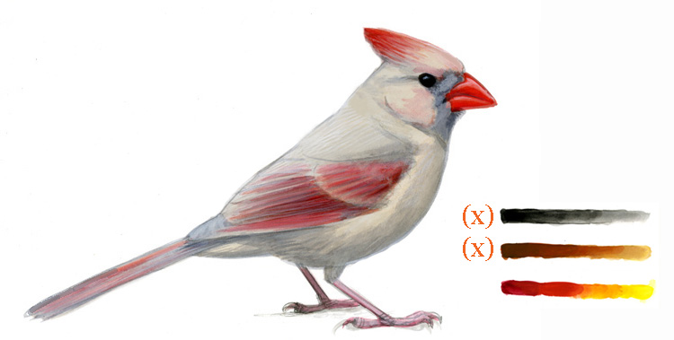 Abnormal Coloration In Birds Melanin Reduction Sibley Guides