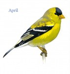 Carduelis-tristis-001-small_April_web