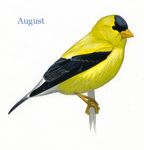 Carduelis-tristis-001-small_August_web
