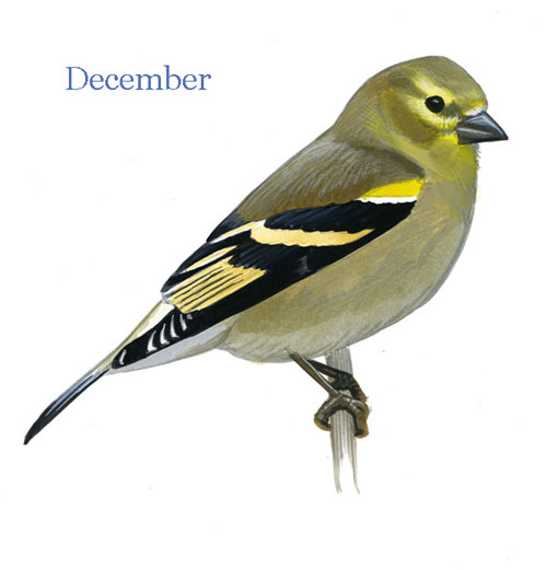 Carduelis-tristis-001-small_Dec_web