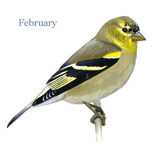 Carduelis-tristis-001-small_Feb_web