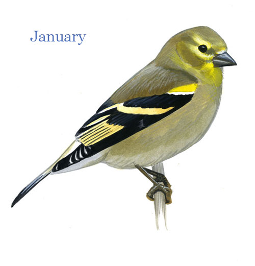 Carduelis-tristis-001-small_Jan_web