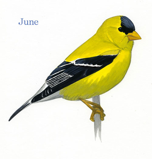 Carduelis-tristis-001-small_June_web