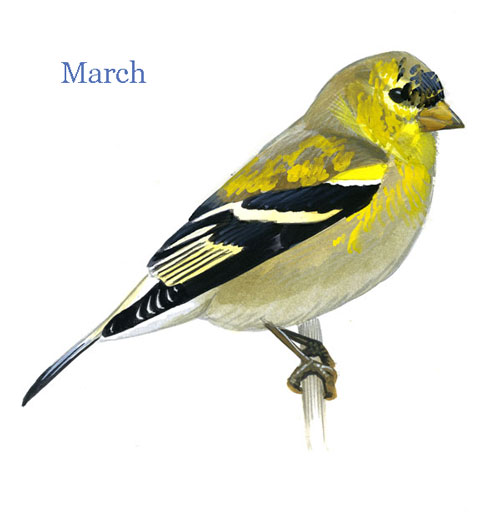Carduelis-tristis-001-small_Mar_web