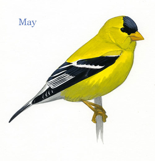 Carduelis-tristis-001-small_May_web
