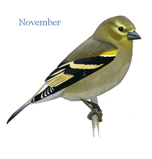 Carduelis-tristis-001-small_Nov_web
