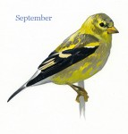 Carduelis-tristis-001-small_September_web