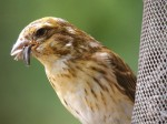 Yellowish Purple Finch, Port Perry, ON. 11 July 2012. Photos copyright Skip Pothier.