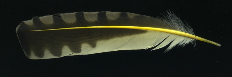 Colaptes_auratus_feather332