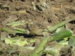 The extremely variable American Pipit