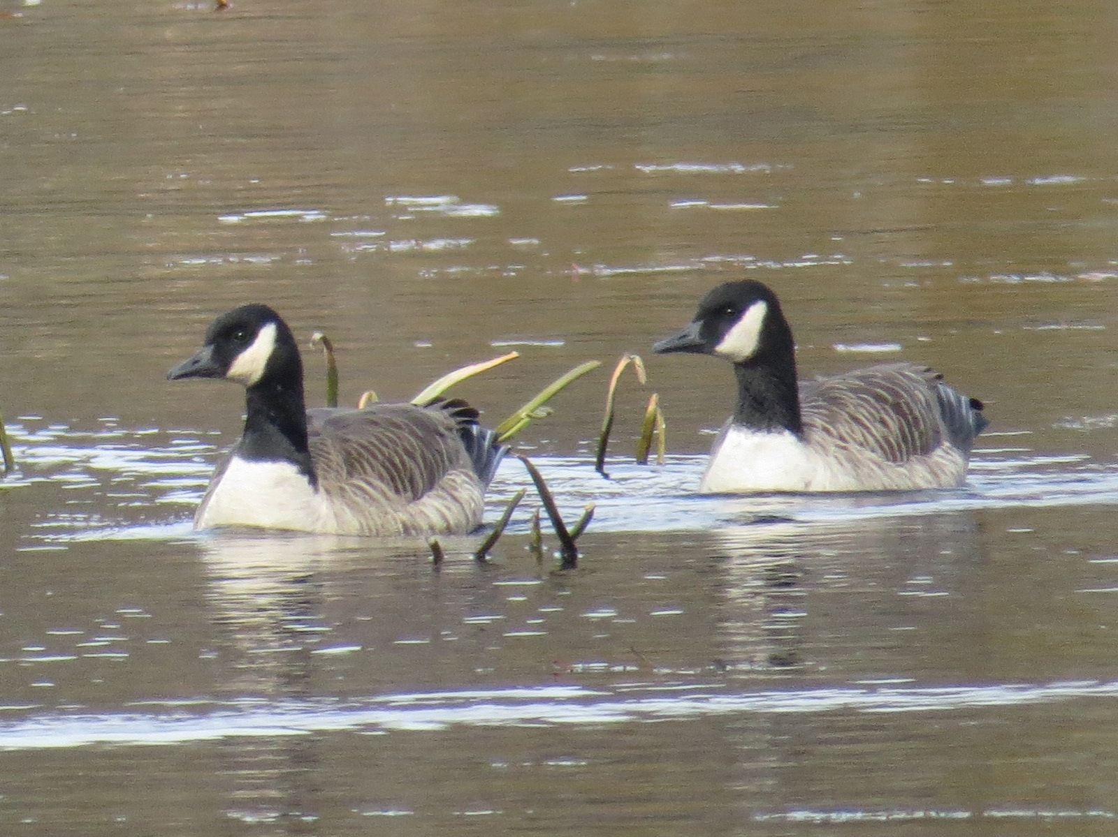 Two Cackling-ish Geese. Concord, MA, 5 Nov 2014.
