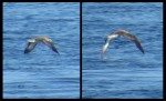 Cory's Shearwater_GGI_Sep2015_compare_web