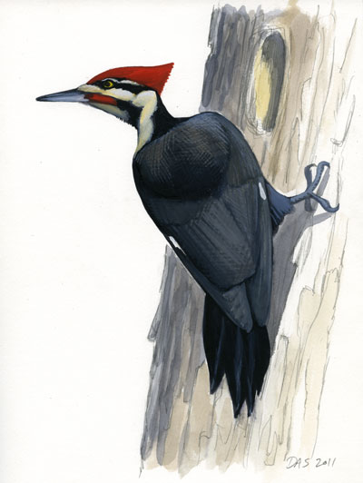 Pileated Woodpecker Drawing Pics For > Pileated...