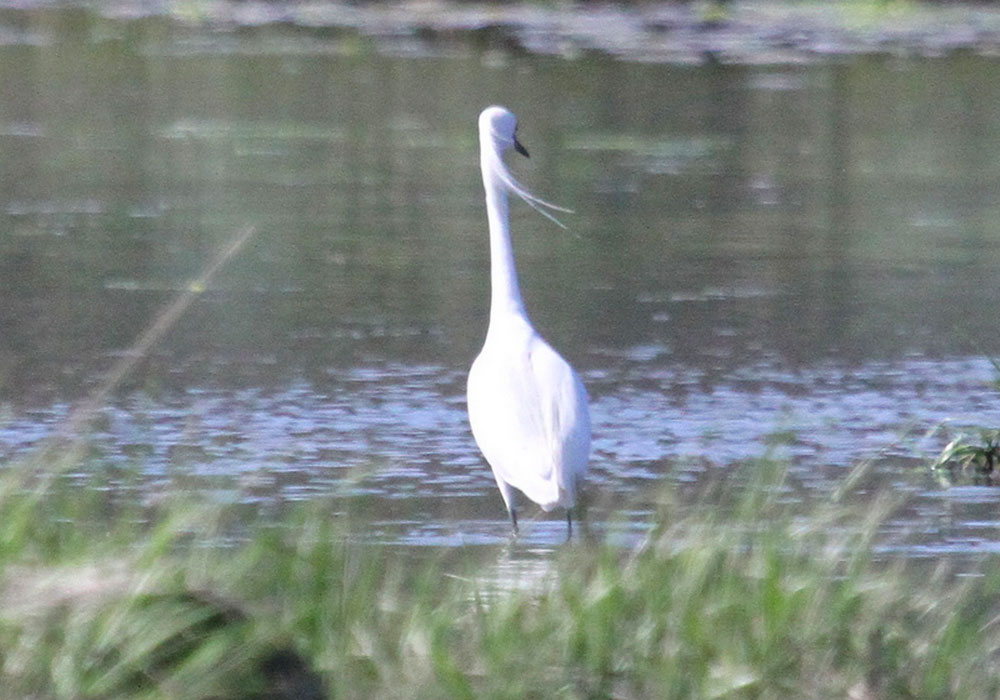 Unusual egret at Cockle Cove in Chatham, MA, 16 May 2013. Photo copyright Mary Keleher, used by permission. Clicking the photo links to the original on Flickr.