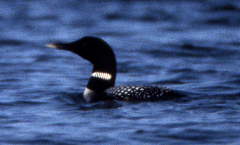 common loon drawing. common loon drawing. makeup