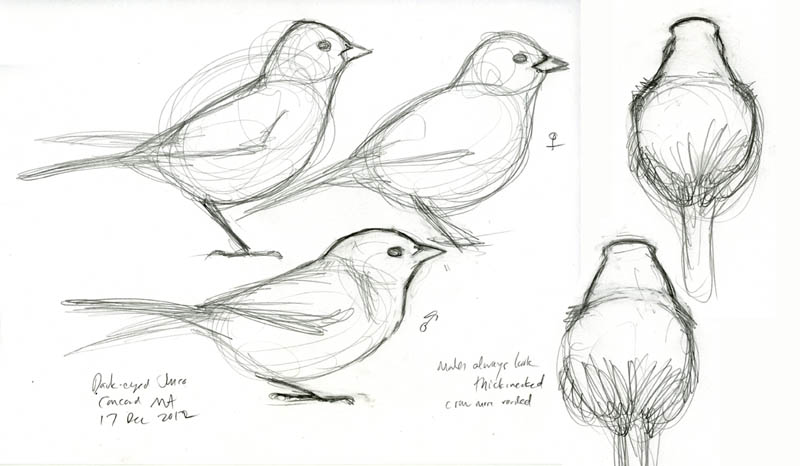 Posture And Shape Distinguishes Male Female Dark Eyed Juncos