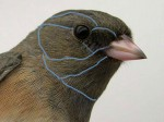 Quiz 10: Head feathers – without markings