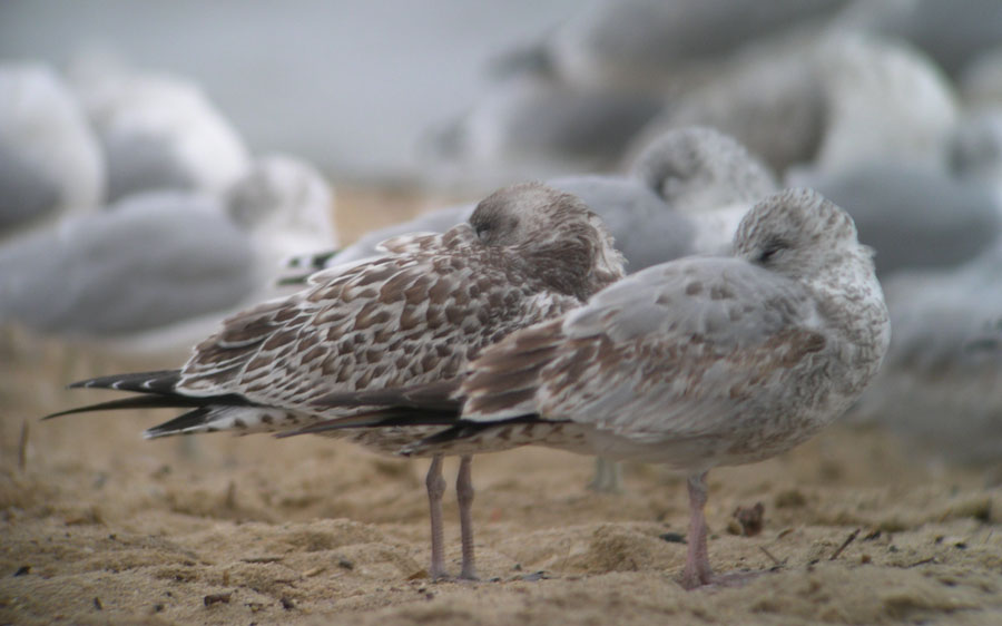 Two Ring-billed Gulls of similar age but very different appearance. Eastham, MA, 9 Oct 2005. Photo copyright David Sibley.