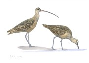 Long-billed_Curlew_BLB1384_20150_web