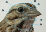 Quiz 9: More on Head feathers