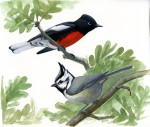 Painted Redstart and Bridled Titmouse, gouache on Bristol Board. copyright 2012 David Sibley.
